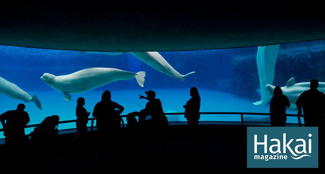 The Controversial Plan to Move Five Captive Belugas   Hakai Magazine