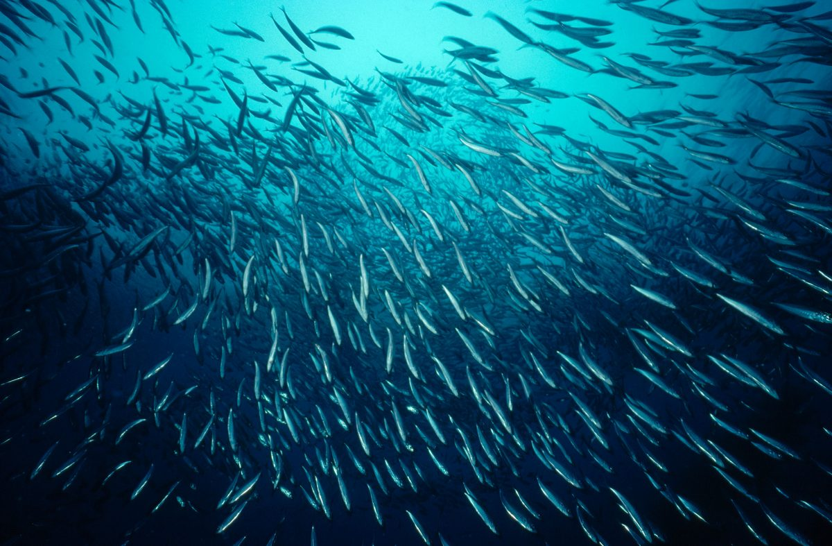 School of grunion underwater