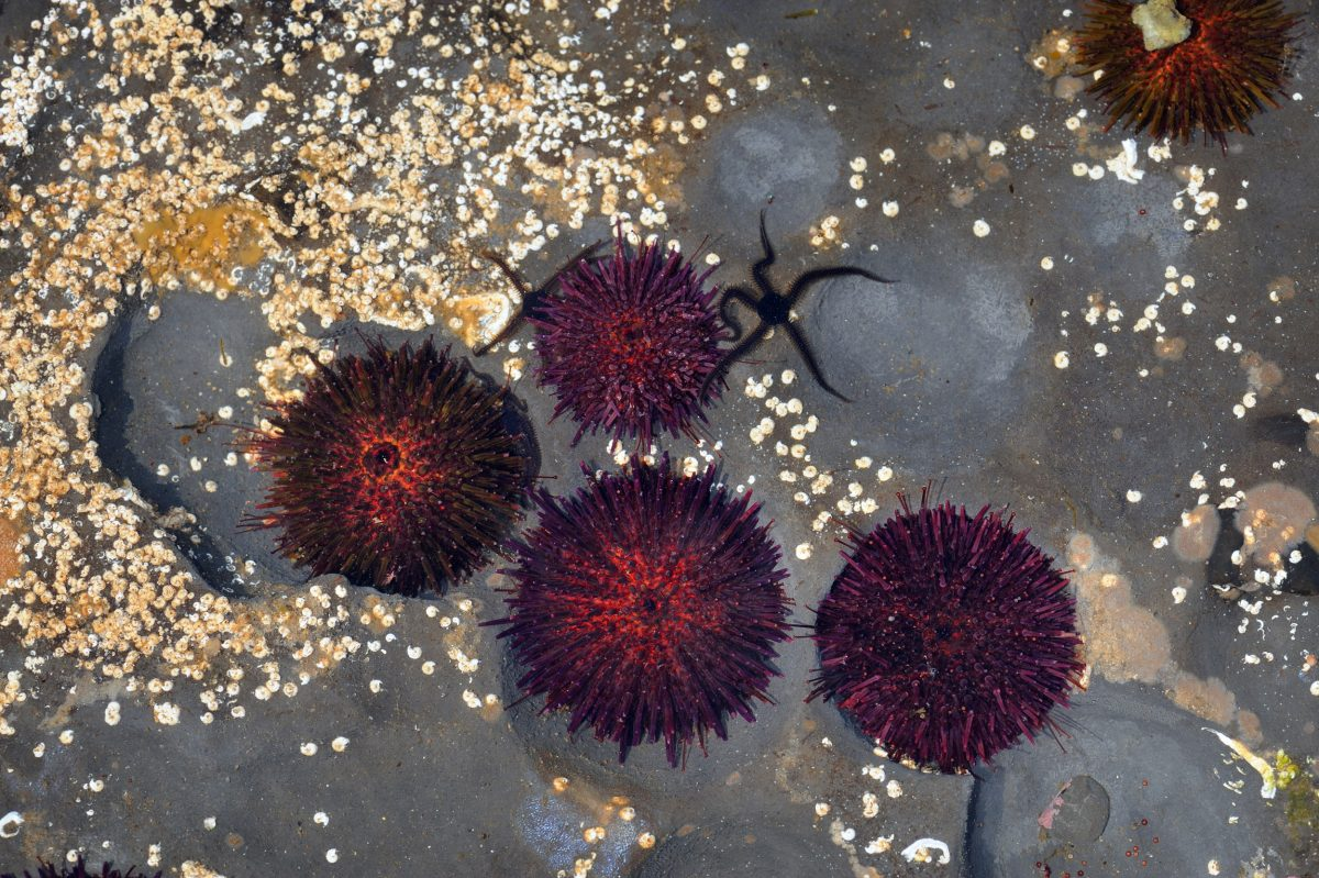 sea urchins under water