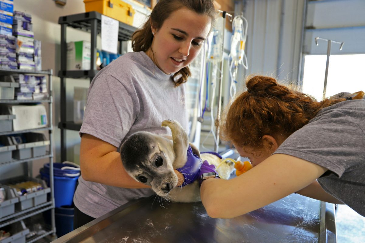 Volunteers with Marine Mammals of Maine examine and treat a sick seal pup. Photo by Marine Mammals of Maine