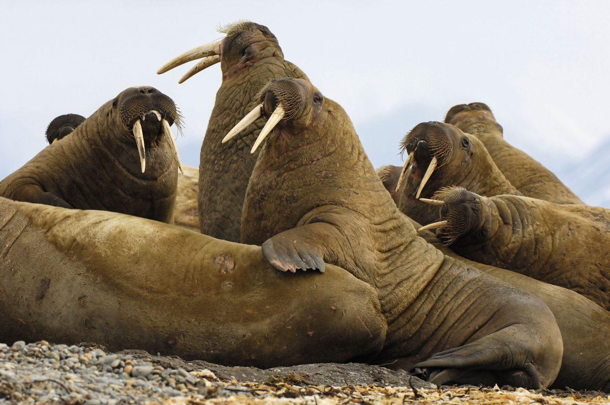 walruses on Svalbard