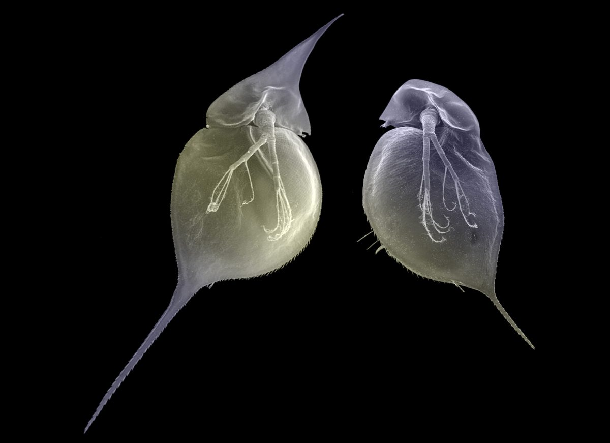 Water fleas (Daphnia lumholtzi)