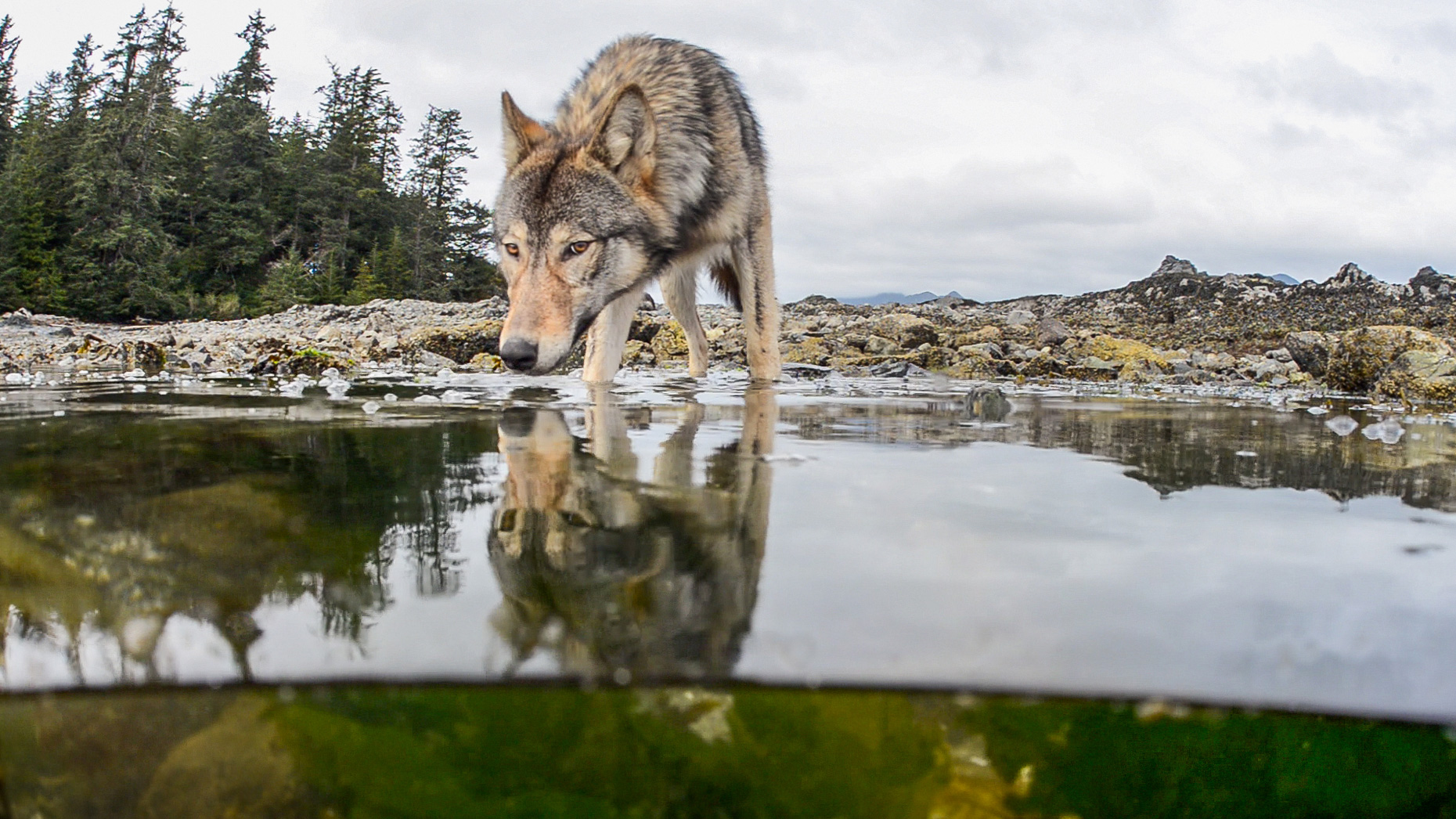 Vancouver Island gray wolves eat the bounty from the sea, particularly salmon. Photo by Tavish Campbell