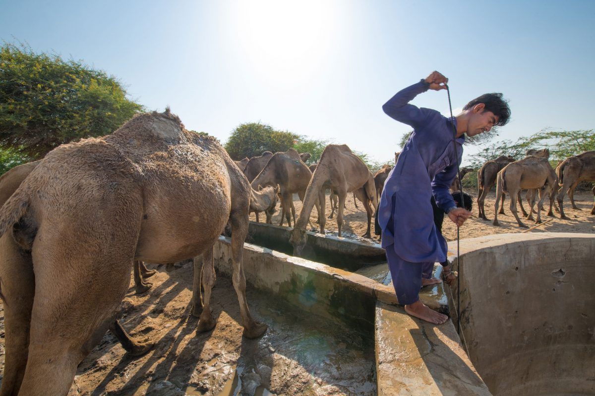 Wildlife Conservation Jobs - A maldhari heaves a bucket of water up from a well to give his kharai camels a drink.
