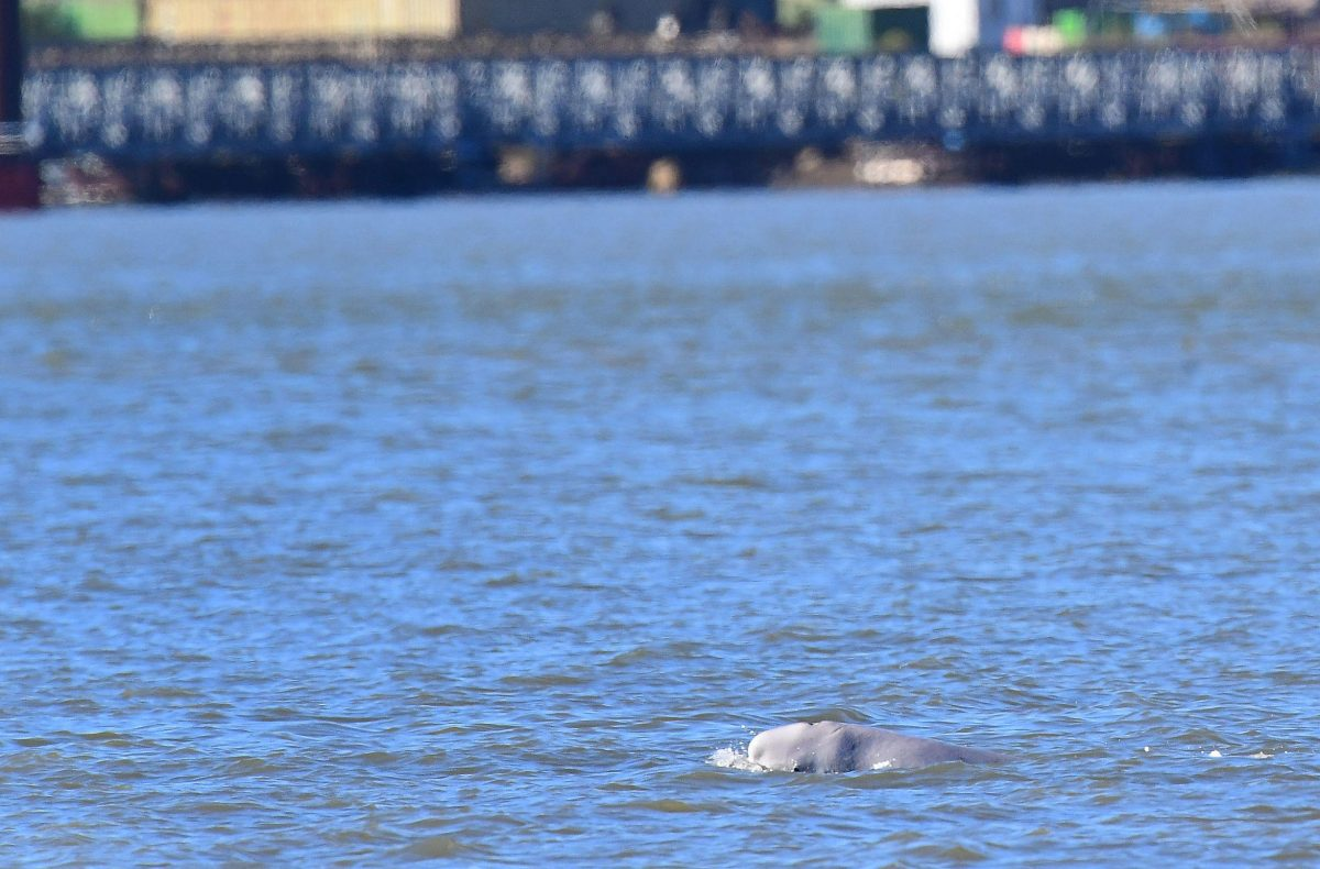 beluga whale swimming in the Thames river