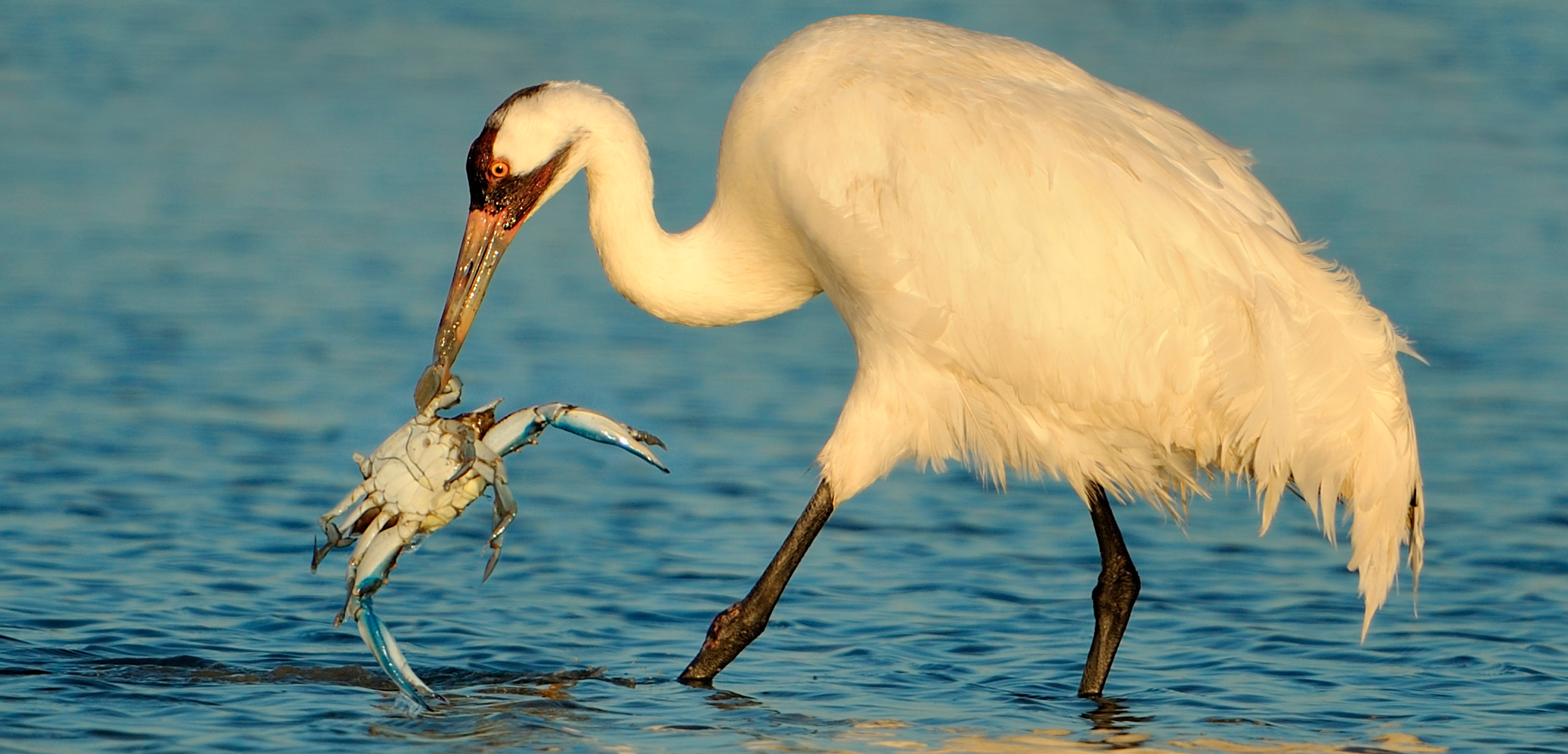 A member of the only remaining wild flock of whooping cranes plucks a crab from the shallows off Texas. Photo by Alan Murphy/BIA/Minden Pictures/Corbis