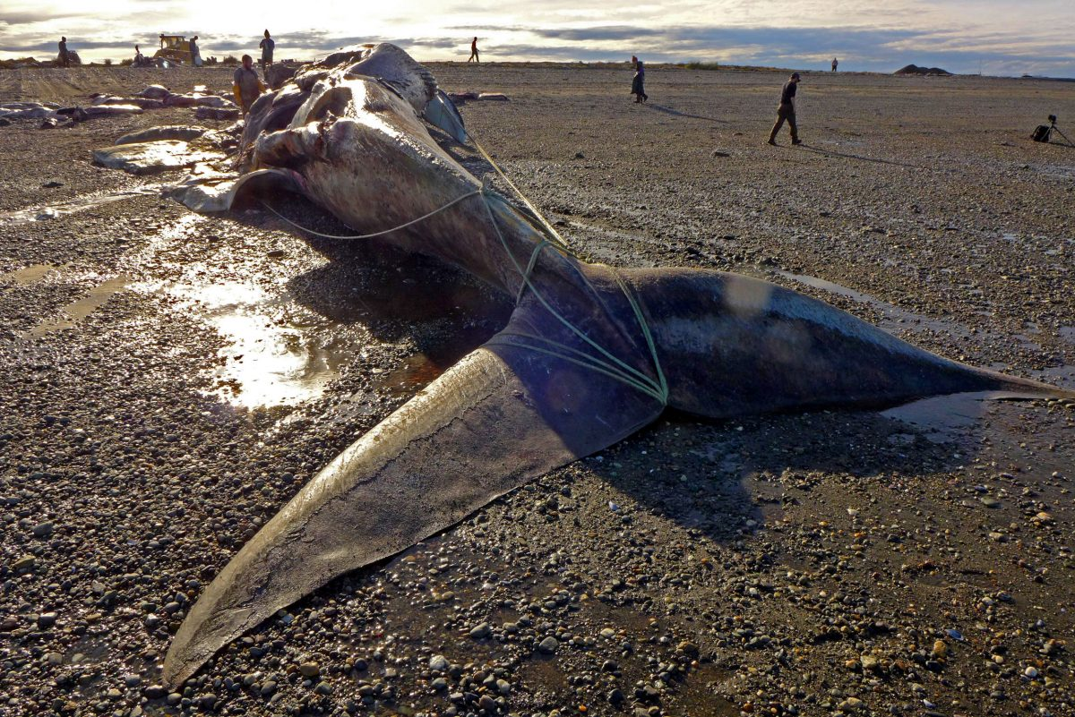 dead blue whale on beach