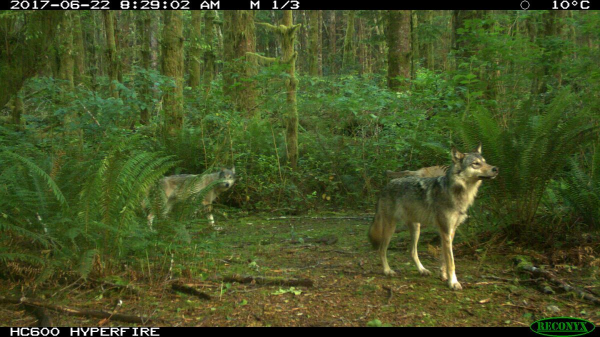 The conflicts between gray wolves cruising through Pacific Rim National Park Reserve and off-leash dogs are a growing concern. Photo courtesy of Parks Canada
