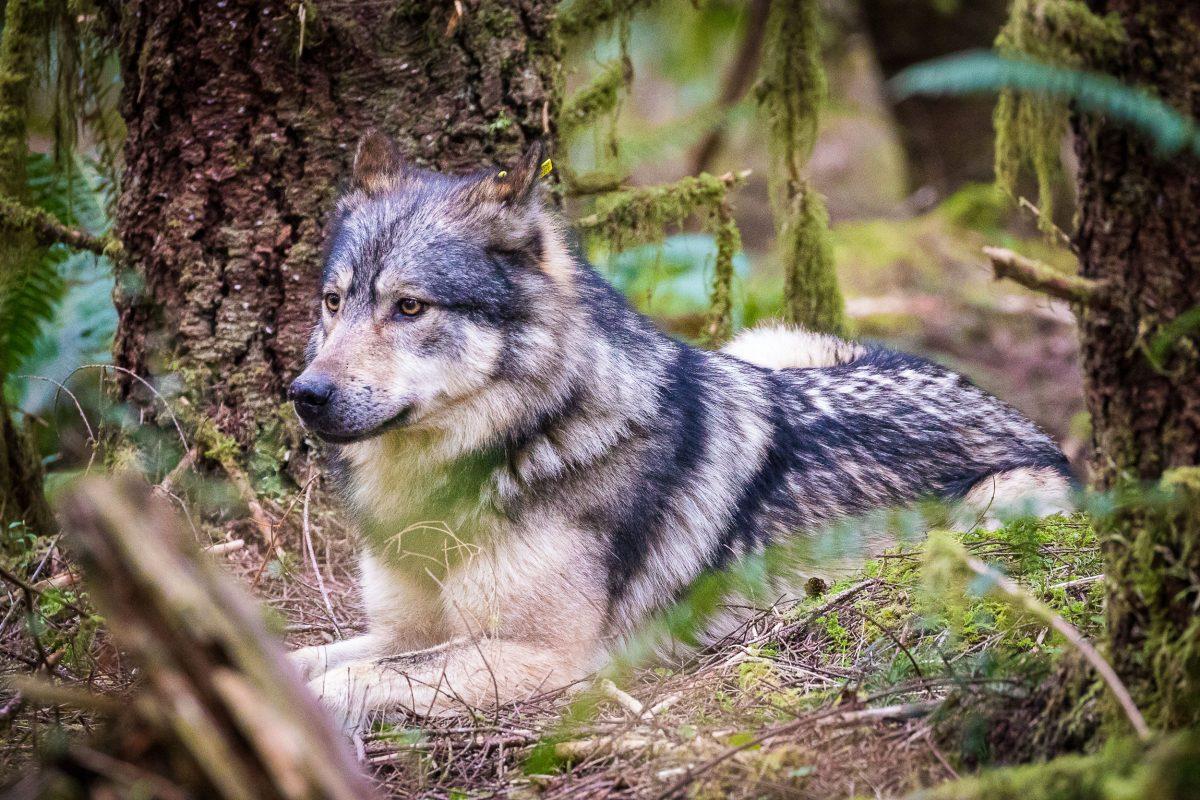 tayaka the wolf