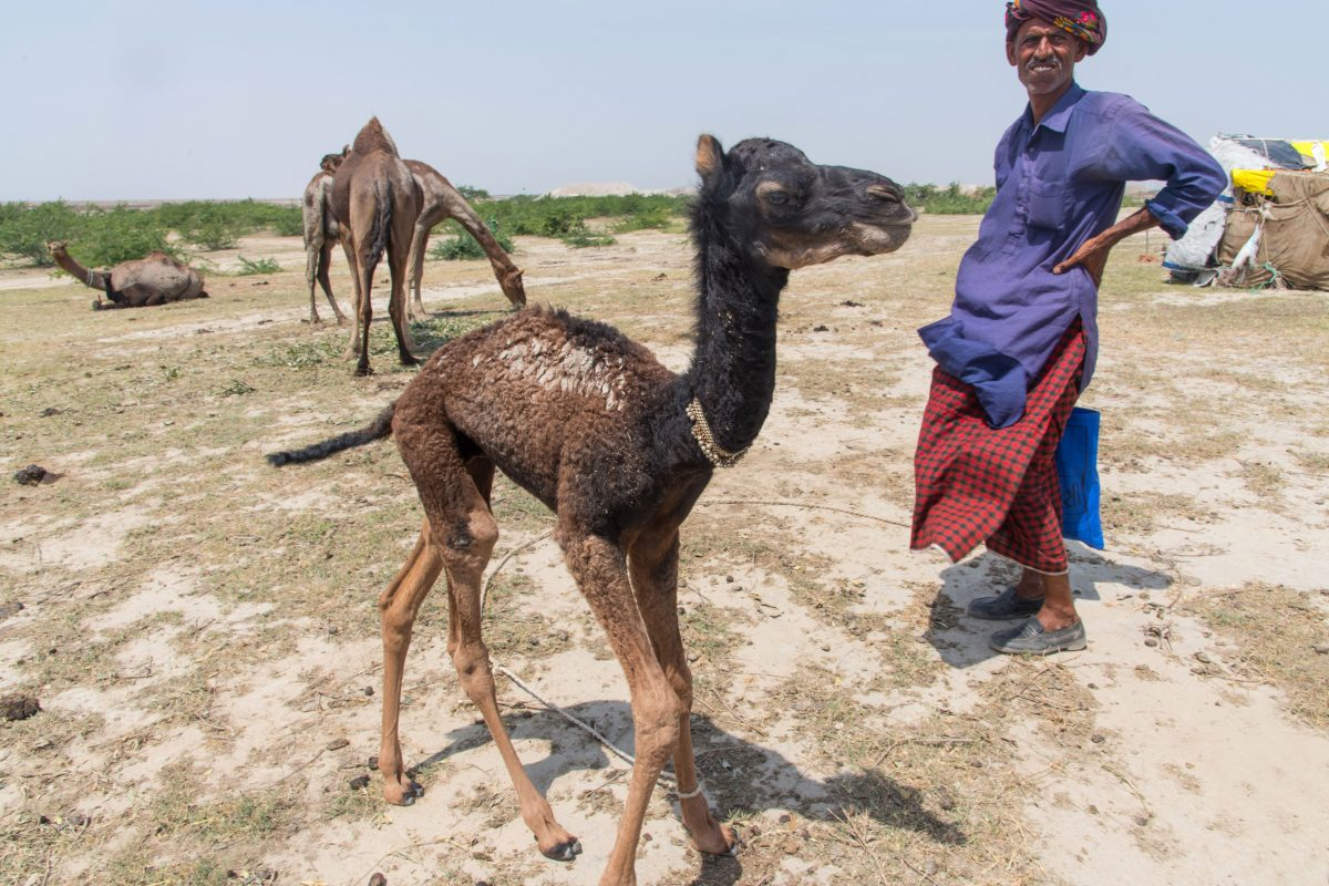 Wildlife Conservation Jobs - Adam Abdreman kharai camel calf